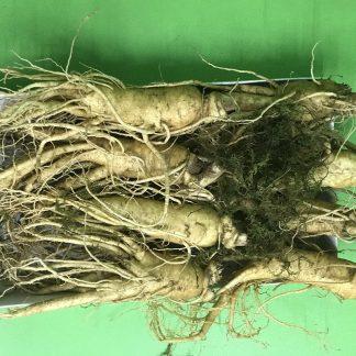Những củ sâm tươi Hàn quốc 6 năm tuổi với kích thước to, hình dnags đẹp được dùng để sản xuất hồng sâm khô