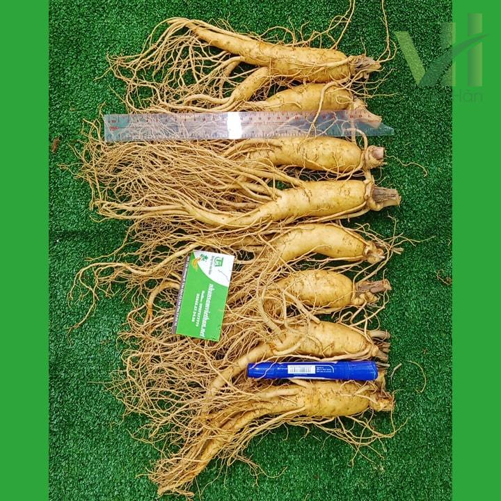 Hình ảnh sâm tươi Hàn Quốc 8 củ/kg hàng chuẩn