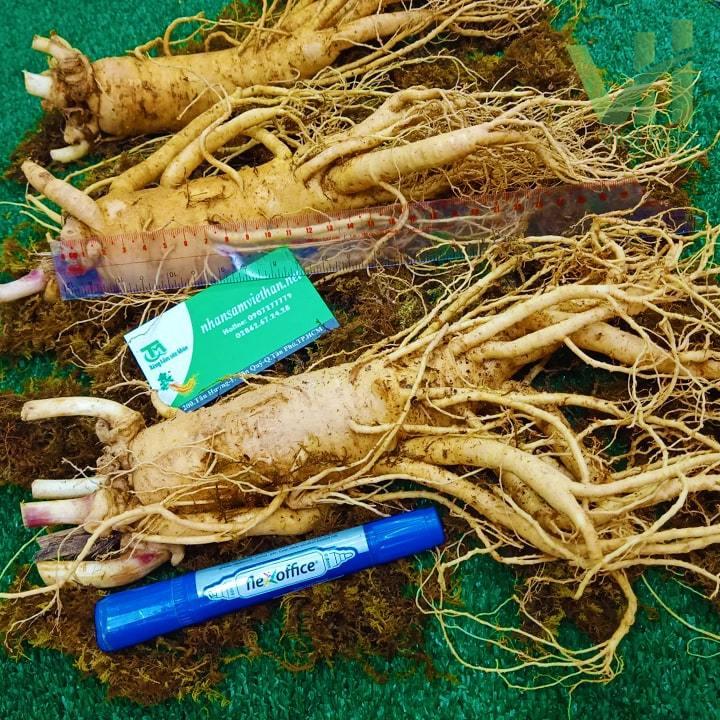 Hình ảnh Sâm tươi Hàn Quốc 3 củ 1 kg - Sâm loại 1 củ đẹp