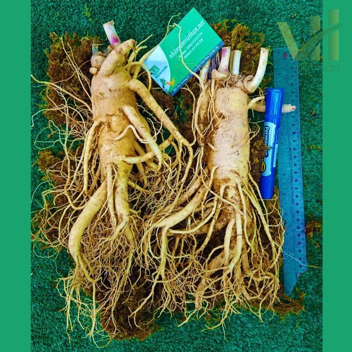 Hình ảnh Sâm tươi Hàn Quốc 2 củ 75 g - Sâm loại 1 củ đẹp