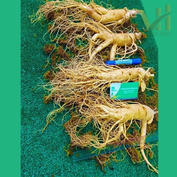 Hình ảnh: Nhân sâm tươi Hàn Quốc loại 4 củ/kg