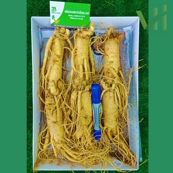 Hình ảnh 1kg sâm tươi 6 củ loại 1 cực chất chỉ có ở Nhân Sâm Việt Hàn