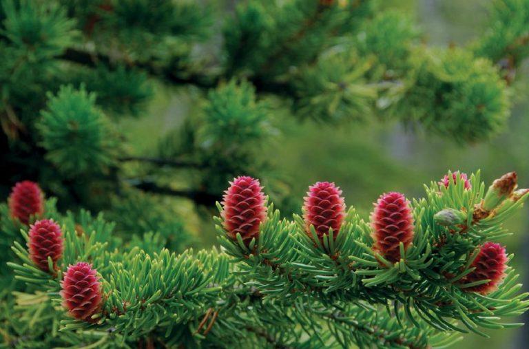 Loài thông này chỉ sống được ở những vùng có khí hậu ôn đới hoặc vùng núi cao như Hàn Quốc, Nga, Trung Quốc, Nhật Bản.