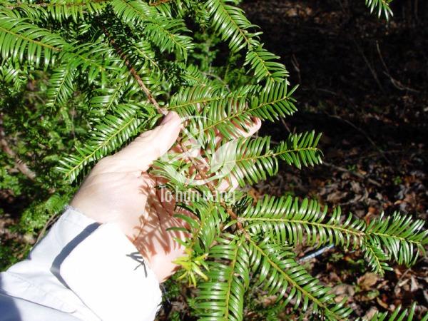 Tinh dầu thông đỏ được sản xuất từ lá cảu cây thông đỏ