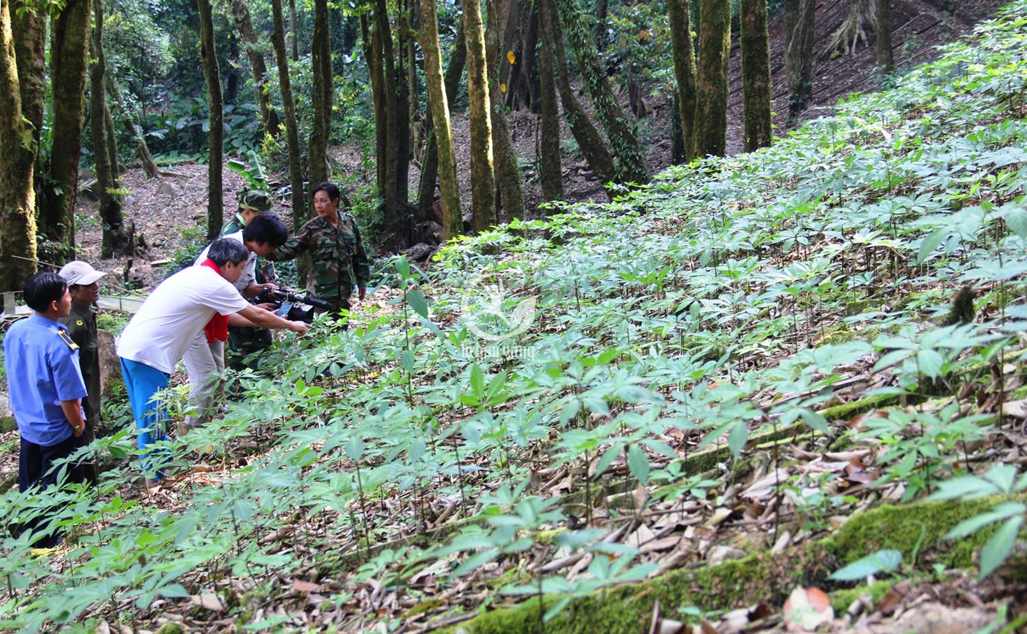 Cây nhân sâm được trồng ở vùng núi Geumsan, Hàn Quốc