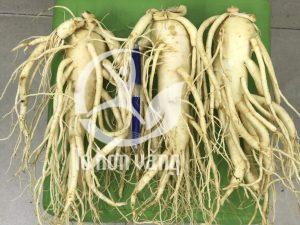 Cần phần biệt sâm tươi và hồng sâm, sâm tươi Hàn Quốc là loại thảo dược được trồng tự nhiên chưa qua sơ chế