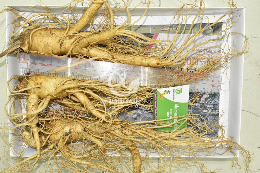 Nhân sâm tươi Hàn Quốc có giá trị dinh dưỡng cao mà không một loại thảo dược nào có được