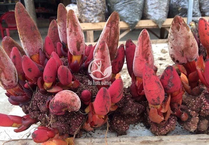 Nấm Cynomorium songaricum bổ sung trong kẹo sâm Hamer có tác dụng tăng cường sinh lí
