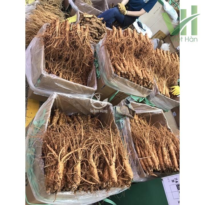 Sâm tươi Hàn Quốc 14 củ 700 gram loại 1 được nhập khẩu trực tiếp từ các trang trại trông sâm Hàn Quốc
