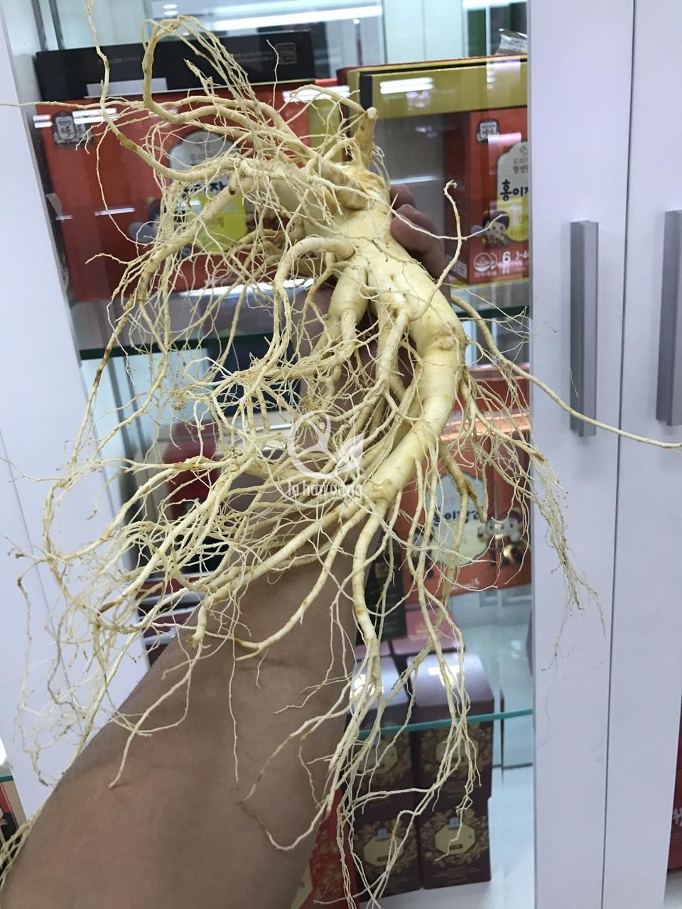 Sâm tươi Hàn Quốc loại 2 củ 700 gram đầy đủ dưỡng chất quý giá