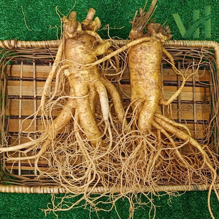 Hình ảnh chi tiết sâm tươi Hàn Quốc 2 củ 700 gram trong khay