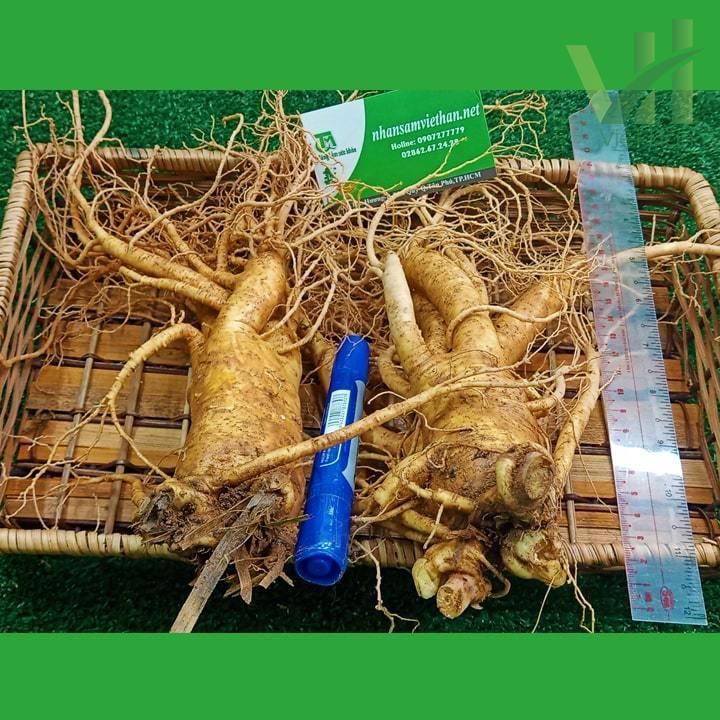 Hình ảnh góc sản phẩm sâm tươi Hàn Quốc 2 củ 700 gram trong khay