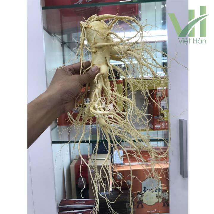 Sâm tươi Hàn Quốc 2 củ 700 gram loại 1 có tác dụng chăm sóc sức khỏe hiệu quả cao