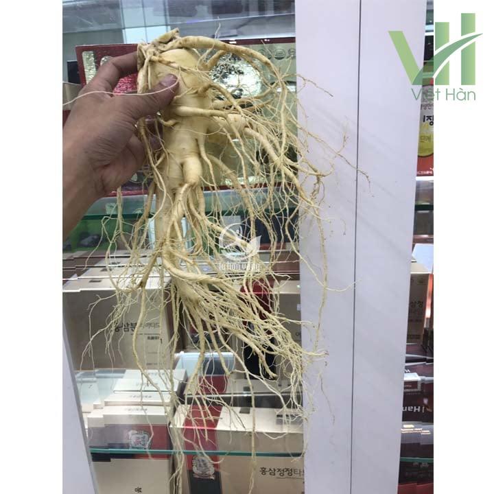 Sâm tươi Hàn Quốc 2 củ 700 gram loại 1 được nhiều người lựa chọn để sử dụng