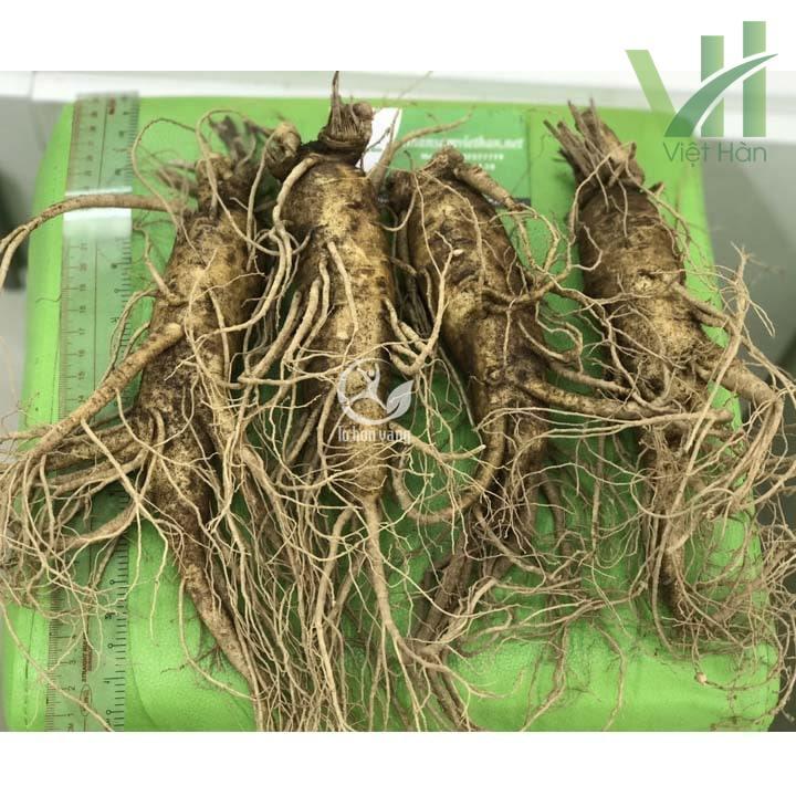Sâm tươi Hàn Quốc 4 củ 700 gram chứa hàm lượng saponin khá cao
