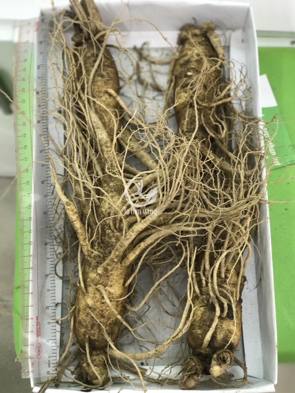 Sấm tươi Hàn Quốc 4 củ 700 gram chứa hàm lượng saponin khá cao