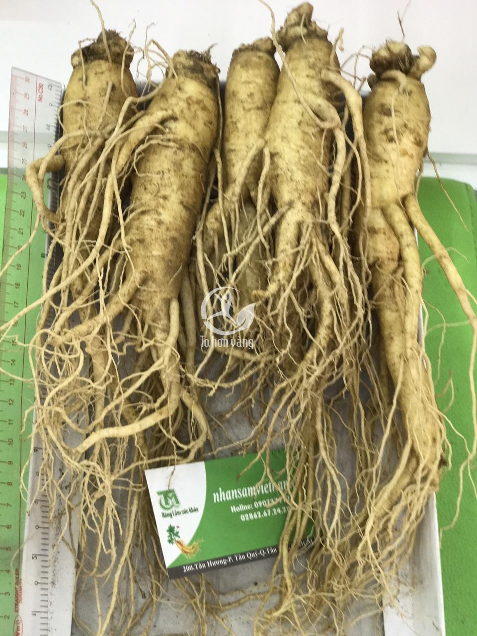 Sâm tươi 700 gram 5 củ chứa đầy đủ các chất dinh dưỡng của sâm tươi 6 năm tuổi