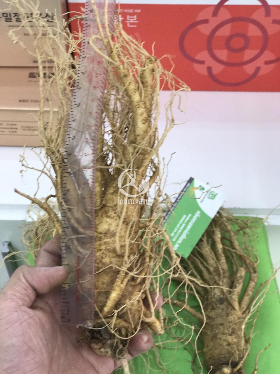 Khi quan sát thấy rễ sâm tròn, rời rạc, phân biệt với các rễ sâm bên cạnh và không quấn lấy nhau thì cũng là một phần đánh giá chất lượng sâm tốt