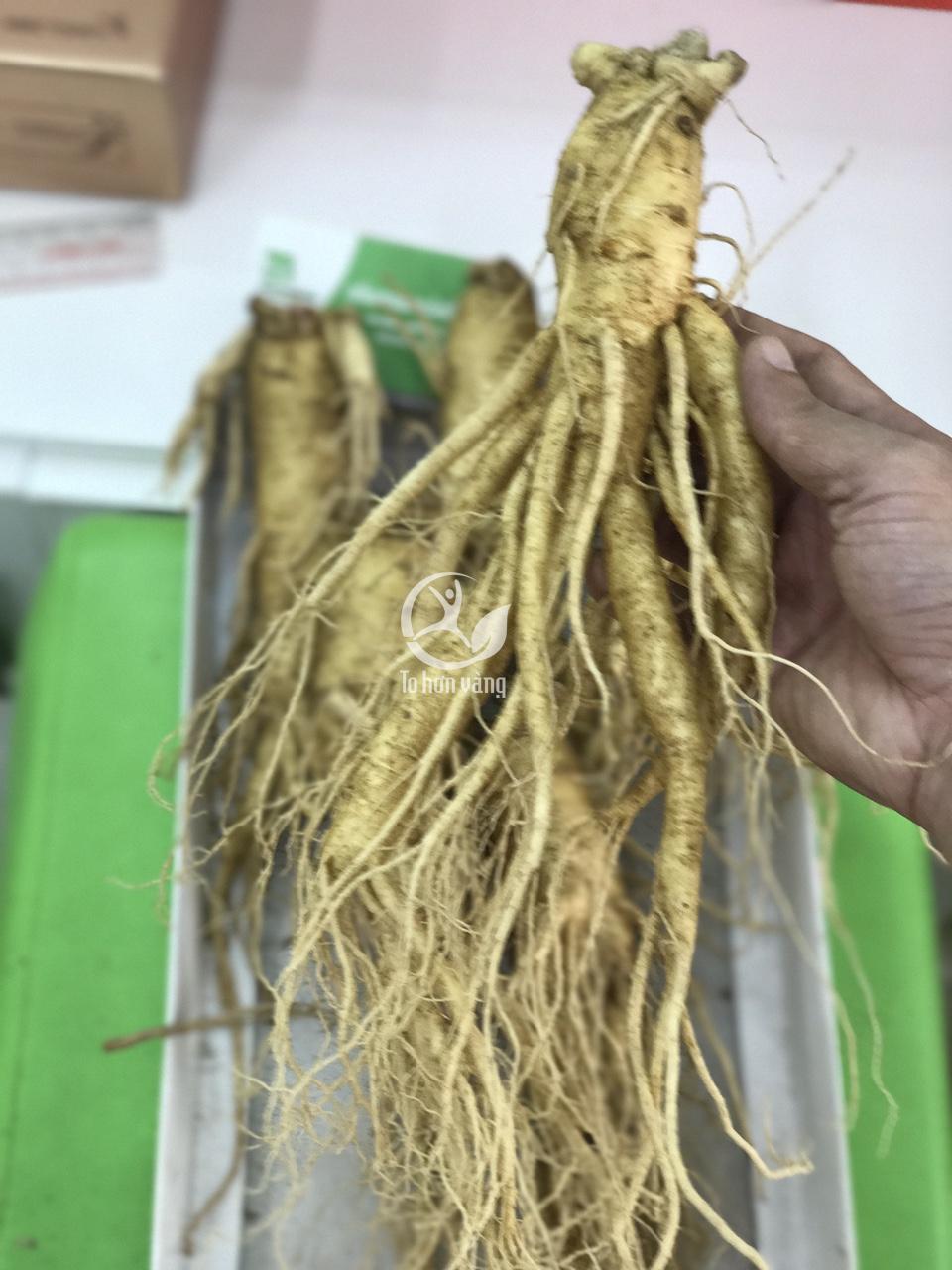 Sâm Hàn Quốc thường có rễ mọc từ phần thân dưới ; đầu sâm và thân sâm có kích thước tương đương nhau