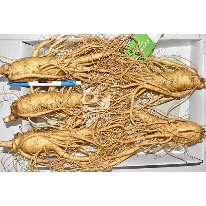 Sâm tươi Hàn Quốc 5 củ 1 Kg – Sâm loại 1 củ đẹp phù hợp biếu tặng người thân - Giá: 2.700.000đ